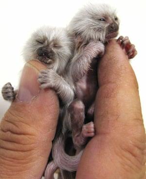 Miniature animals: Pygmy marmosets