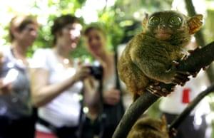 Miniature animals: Philippine tarsier
