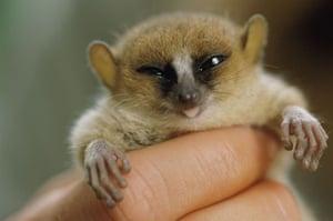 Miniature animals: Mouse lemur