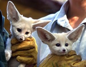 Miniature animals: Fennec foxes