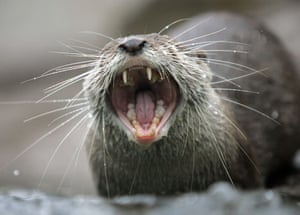 Miniature animals: A small-clawed otter