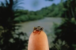 Miniature animals: Eleutherodactylus limbatus