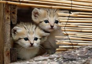 Miniature animals: Sand cats