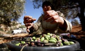 Palestinian olives for olive oil