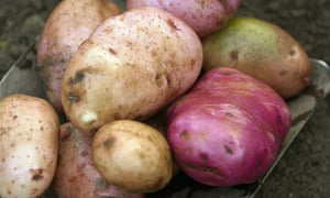 Freshly picked potatoes on a spade