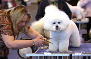 Crufts winners: A Bichon Frise is groomed for judging at Crufts