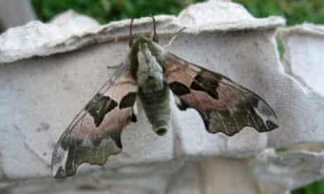 A lime hawk moth