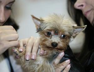 Pets fashion week: A groomer prepares a dog for a fashion show