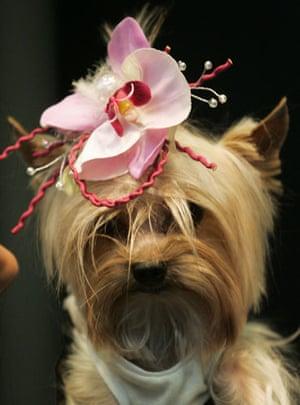 Pets fashion week: A dog wears a head decoration