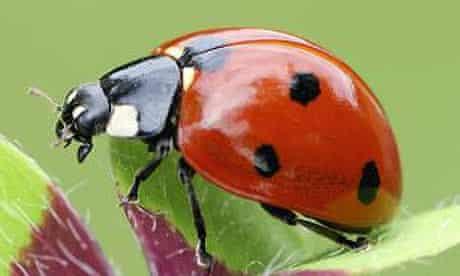 A seven-spot ladybird (Coccinella septempunctata)