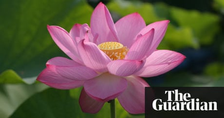 The edible incredible lotus flower life and style the guardian mightylinksfo Choice Image