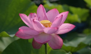 The Edible Incredible Lotus Flower Life And Style The Guardian