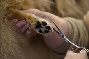 Crufts: An owner trims the fur of her Belgian Shepherd