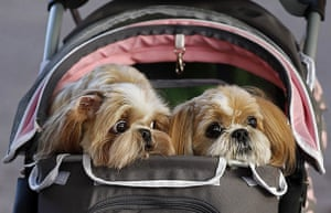 Crufts: A couple pushes a pram containing three Shih Tzus