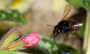 The solitary hairy footed flower bee, Anthophora plumipes