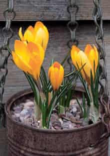 Yellow Crocus in rusted hanging tin can