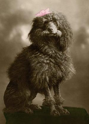 Vintage dogs: A poodle