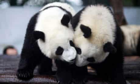 Giant Pandas hanging out