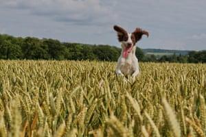 Dog photographer: Warren Keep's photo of a Springer springing