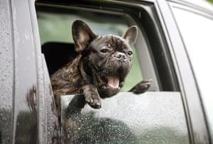 Dog photographer: Taida Tarabula's French Bulldog