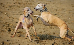 Dog photographer: Amy Louise Wilton's Whippets playing on a beach