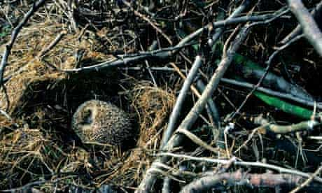 A hibernating hedgehog