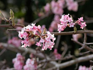 Winter-flowering plants: Viburnum x bodnantense 'Dawn'
