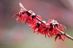 Winter-flowering plants: Hamamelis intermedia 'Diane'