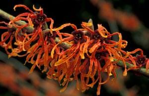 Winter-flowering plants: Hamamelis x intermedia 'Jelena'