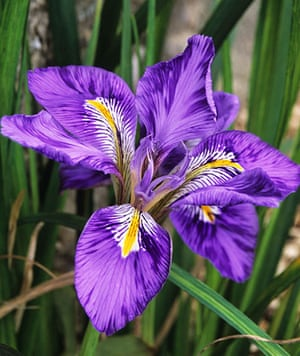 Winter-flowering plants: Iris unguicularis var. angustifolia
