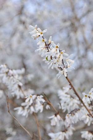 Winter-flowering plants: Abeliophyllum distichum