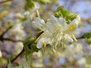 Winter-flowering plants: Lonicera x purpusii