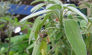 A spider on a sage plant