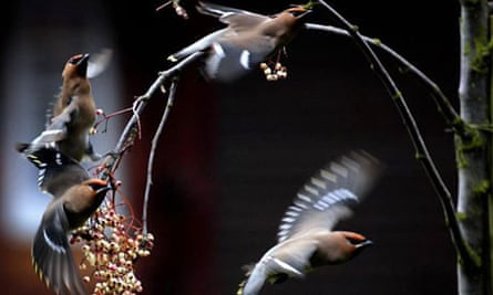 Waxwings (Bombycilla garrulus) eat berries from a tree