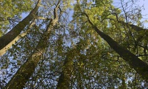 Ash trees (Fraxinus excelsior)