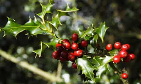 Holly berries in the New Forest