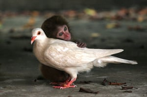 Unlikely animals friends: The macaque and the dove