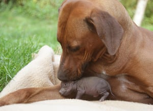 Unlikely animals friends: The potbellied pig and the rhodesian ridgeback