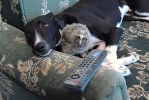Unlikely animals friends: The greyhound and the owlet