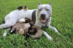 Unlikely animals friends: The pitbull, siamese cat and chicks