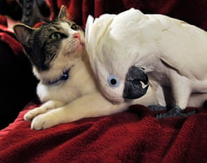 Unlikely animals friends: The cat and the cockatoo