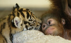 Unlikely animals friends: The orangutan baby and the tiger cub