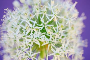 White garden: Allium 'Mount Everest'