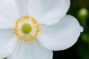 White garden: Anemone hybrida 'Honorine Jobert'