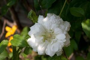 White garden: Clematis 'Duchess of Edinburgh'