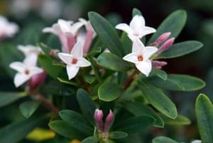 White garden: Daphne x transatlantica 'Eternal Fragrance'