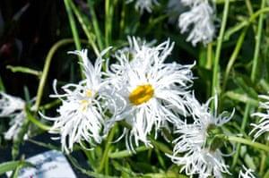White garden: Leucanthemum 'Old Court'