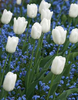 White garden: Tulip 'White Dream'