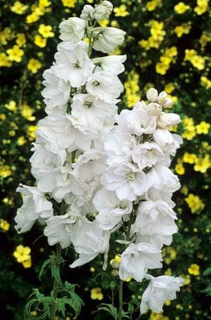 White garden: White delphinium