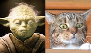 Cat lookalikes: Cat lookalike: Parsley aka Yoda